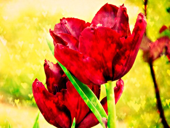 Hearts' Desire -- Spring Botanical with Red Tulips and Heart Bokeh Art Print