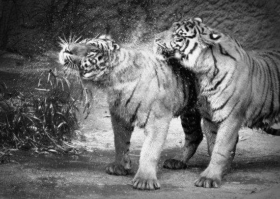 little tigers Art Print