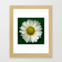 Single White Chrysanthem… Framed Art Print