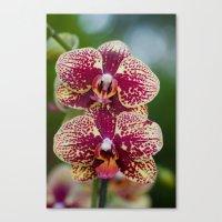 Orchid Phalaenopsis 7989 Canvas Print