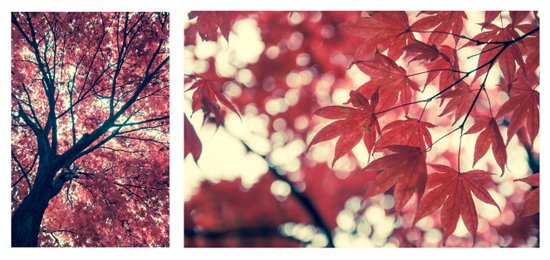Japanese Maple - Collection Art Print