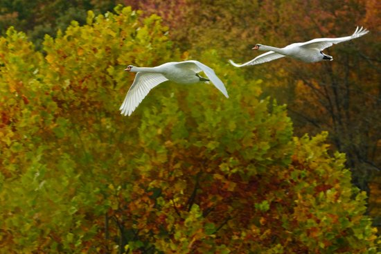 Swans in flight Art Print