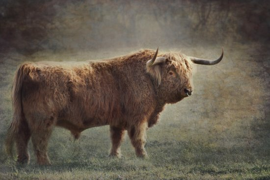 The Highland Bull Art Print