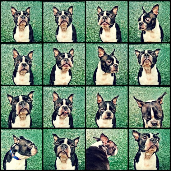 The many faces of a Boston Terrier Canvas Print