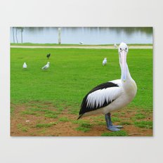 Pelican and seagulls Canvas Print