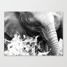 Young elephant feeding in black and white Canvas Print