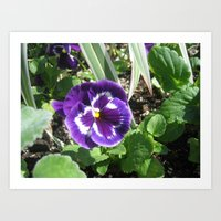 purple pansy Art Print