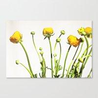 Golden Yellow Ranunculus Flowers on White Canvas Print