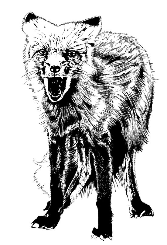 Angry Fox (b&w) Canvas Print