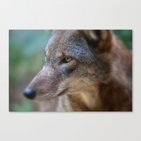 Red Wolf Stares Canvas Print