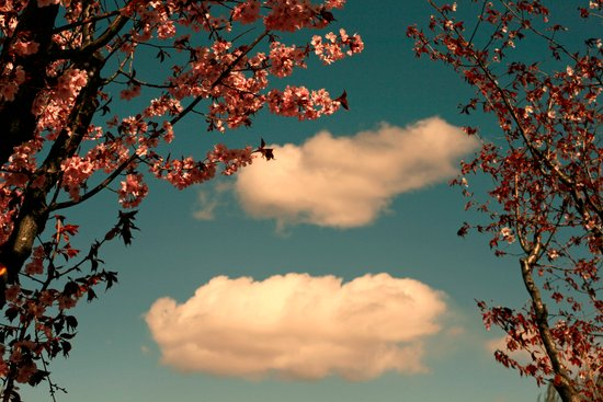 The Sky and the Cherry Trees Art Print