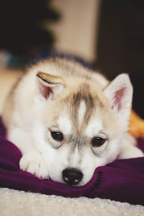 husky puppy. Art Print