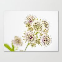 Astrantia Major Canvas Print