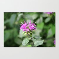 Monarda - Bee Balm Canvas Print
