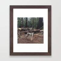 Injured Coyote Framed Art Print