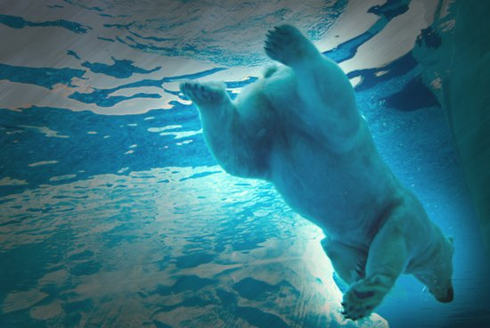 Polar Bear dive Art Print