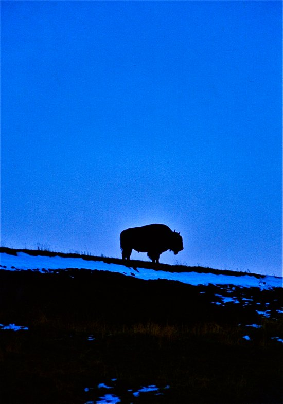 The Last Buffalo Art Print
