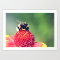 Bumble Bee on a Red Blossom Art Print