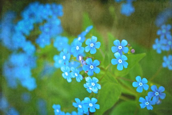 Forget Me Not Art Print