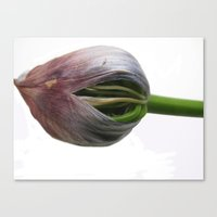 Opening Bud Canvas Print