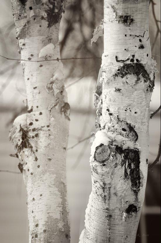 Snow on Birch Art Print