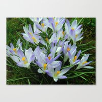 Lavender Crocus Canvas Print