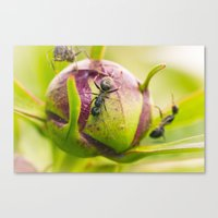 Ants Working On A Peony Flower Bud Macro Canvas Print