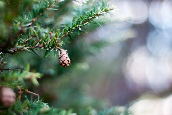 Tiny Pine Cone Art Print