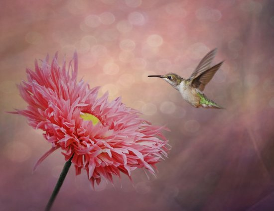 A Hummingbirds Dance Canvas Print