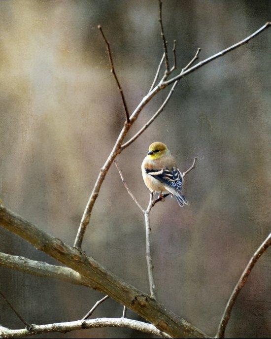 Morning Goldfinch Art Print