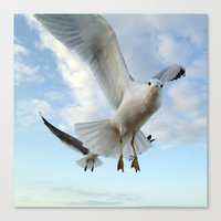 Gull Closeup Canvas Print