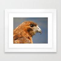 Red Tailed Hawk Closeup Framed Art Print