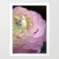 Ranunculus macro bloom Art Print