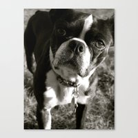 Boston Terrier Canvas Print