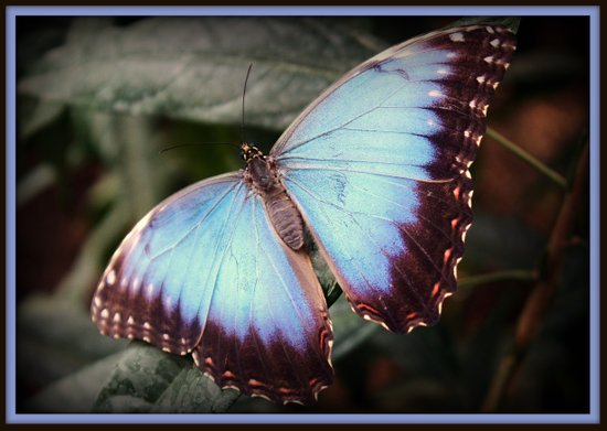 Blue Morpho - Wings Open Art Print