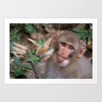Young Rhesus Macaque with Food in Cheeks Art Print