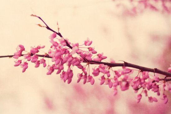 blossom love Canvas Print