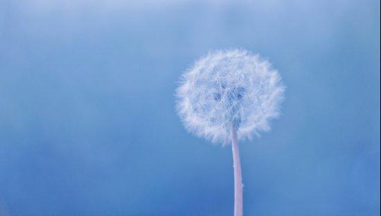 Tranquil Dandelion Art Print