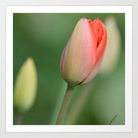 Peach Tulip Art Print