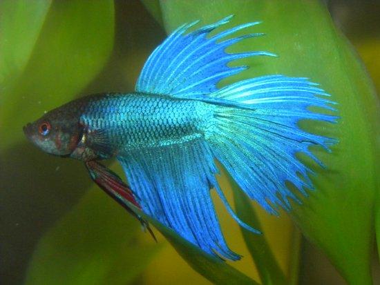 Blue Betta Fish Art Print
