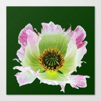 Papaver Somniferum Canvas Print