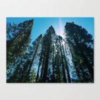 Sequoias Canvas Print