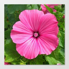 mallow bloom IV Canvas Print
