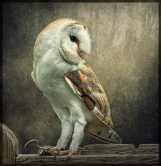 Barn Owl and Mouse Art Print