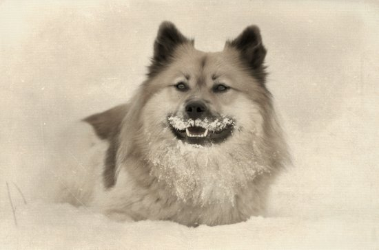 1920s mustache - dog Canvas Print