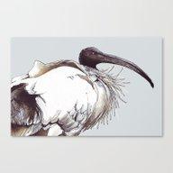 Australian Ibis Canvas Print