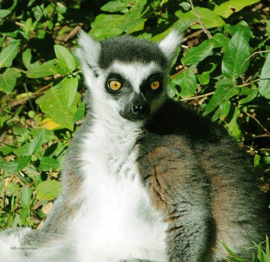 Ring Tailed Lemur Closeup Art Print