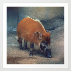 Red River Hog Art Print