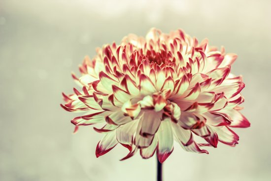 Hold onto the light - A chrysanthemum flower in window light Art Print