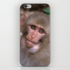 Young Rhesus Macaque with Food in Cheeks iPhone & iPod Skin